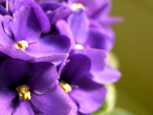 plantas-de-interior-violetas